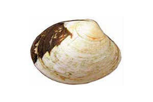 golden carpet shell